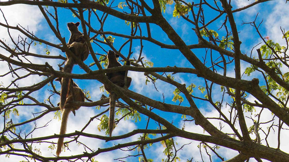 Grizzled Tree Kangaroos in PNG